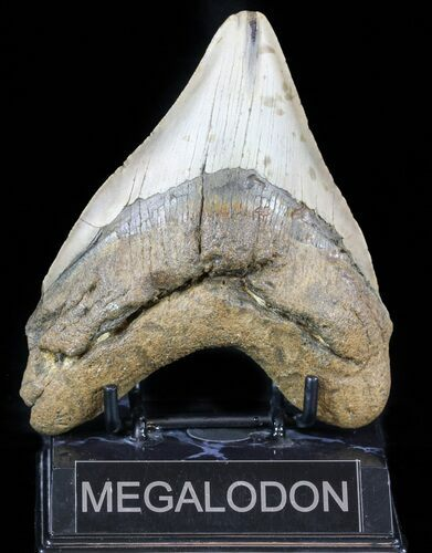"Bargain, 5.08"" Megalodon Tooth - North Carolina"