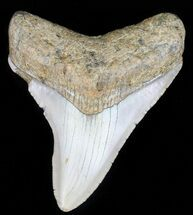 "Buy 3.08"" Megalodon Tooth - North Carolina - #59131"