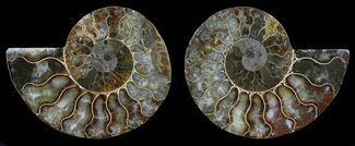 "3.5"" Polished Ammonite Pair - Agatized For Sale, #59450"