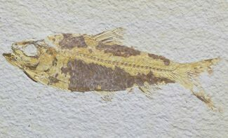 "4.5"" Knightia Fossil Fish - Wyoming For Sale, #59828"