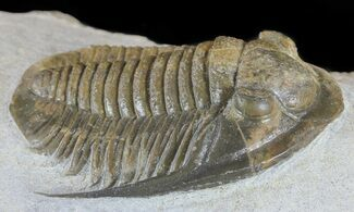 "Buy 1.4"" Cornuproetus Trilobite - Beautiful Specimen - #58729"