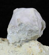 Buy Blastoid (Pentremites) Fossil - Illinois   - #60133