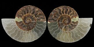 Cleoniceras - Fossils For Sale - #60282