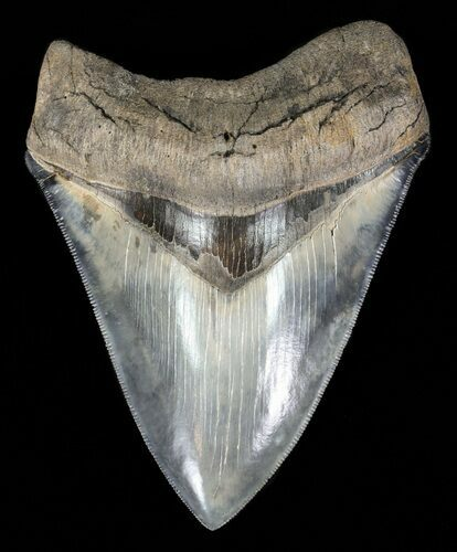 "Serrated, 4.67"" Megalodon Tooth - Gorgeous Blade"