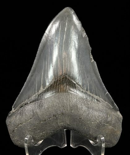 "Serrated, 4.72"" Megalodon Tooth"