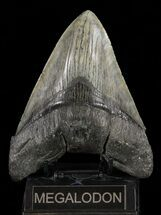 Carcharocles megalodon - Fossils For Sale - #60498