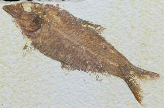 "Buy 4.1"" Knightia Fossil Fish - Wyoming - #60466"