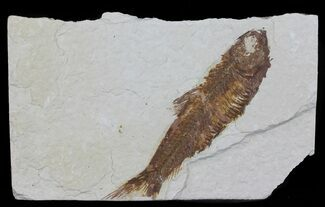 "Buy Bargain, 3.3"" Knightia Fossil Fish - Wyoming - #60472"