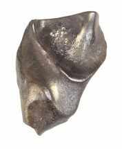 "Buy .58"" Triceratops Shed Tooth - Montana - #60691"