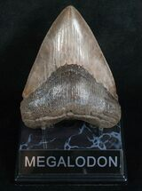 "Buy Great 4.61"" Megalodon Tooth - Ashepoo River, GA - #5197"