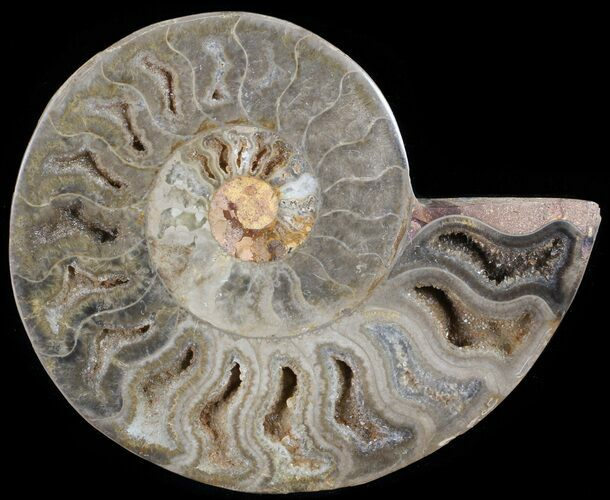 "4.3"" Split Black/Orange Ammonite (Half) - Unusual Coloration"