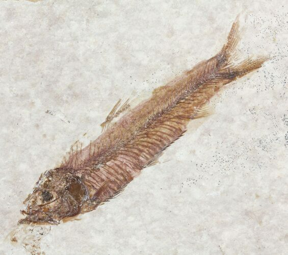 "2"" Knightia Fossil Fish - Wyoming"