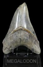"Razor Sharp, 5.46"" Megalodon Tooth - Georgia For Sale, #60911"