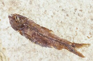 "Buy 1.7"" Knightia Fossil Fish - Wyoming - #60874"