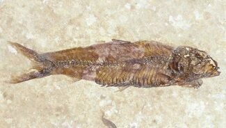 "Buy 2.1"" Knightia Fossil Fish - Wyoming - #60883"