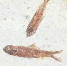 Multiple Knightia Fossil Fish - Wyoming For Sale, #60890