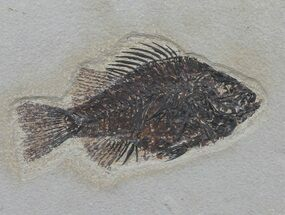 "5.2"" Cockerellites (Priscacara) Fossil Fish - Wyoming For Sale, #61010"