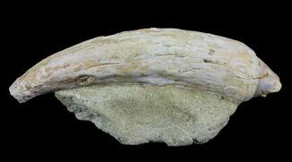 "Buy 2.6"" Fossil Sea Lion (Allodesmus) Tooth - Bakersfield, CA - #62161"