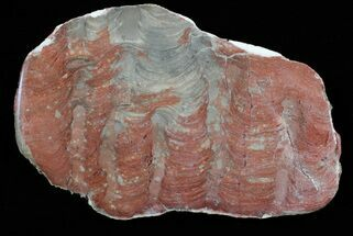 Inzeria intia - Fossils For Sale - #62637
