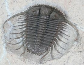 "Buy Excellent, 1.2"" Cyphaspides Trilobite - Jorf, Morocco - #62659"