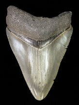 Carcharocles megalodon - Fossils For Sale - #61806