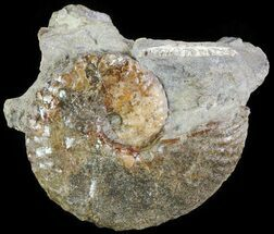 "Buy 1.8"" Hoploscaphites Ammonite - South Dakota - #62614"
