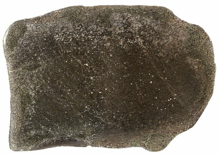 "5.7"" Pyritized, Polished Iguanodon Bone - Isle Of Wight"