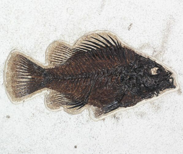 "6.3"" Priscacara Fossil Fish - Wyoming"