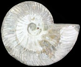 "Buy 5.4"" Silver Iridescent Ammonite - Madagascar - #61510"