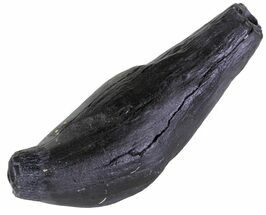 "4.3"" Fossil Sperm Whale Tooth - South Carolina For Sale, #63554"