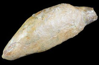 "Buy 3.4"" Fossil Sperm Whale Tooth  - #63562"