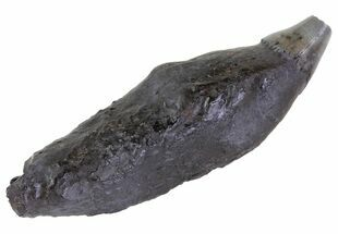 "3.7"" Fossil Whale Tooth - South Carolina For Sale, #63563"