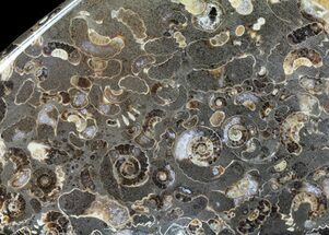 "4.6"" Polished Ammonite Fossil Slab - ""Marston Magna Marble"" For Sale, #63851"