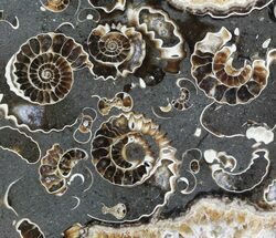 "Buy 2.7"" Polished Ammonite Fossil Slab - ""Marston Magna Marble"" - #63841"