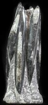 Orthoceras regulare - Fossils For Sale - #61317