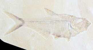 "Buy 5.5"" Diplomystus Fossil Fish - Wyoming - #63937"