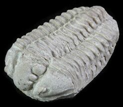 Calymene celebra - Fossils For Sale - #64029