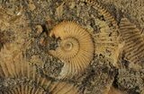 "7.1"" Dactylioceras Ammonite Cluster - Germany - #64566-2"