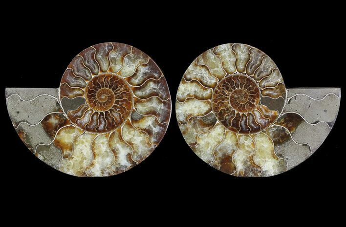 "6"" Cut & Polished Ammonite Fossil - Agatized"