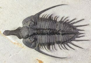 "3"" Spiny Psychopyge Trilobite - Short Snout Species For Sale, #65825"
