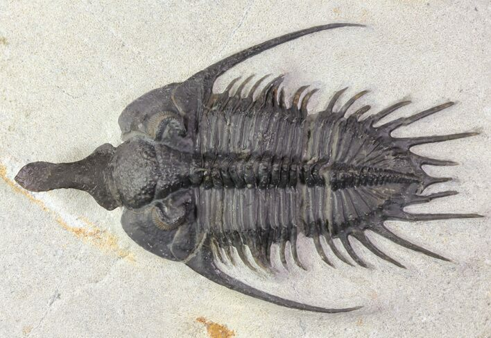 "3"" Spiny Psychopyge Trilobite - Short Snout Species"
