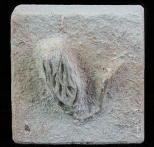 Buy Detailed Cyathocrinites Crinoid - Crawfordsville, Indiana - #66055
