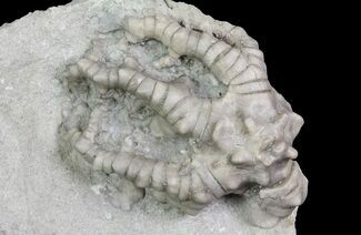 "1.5"" Barycrinus Crinoid - Crawfordsville, Indiana For Sale, #66047"