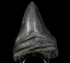 Carcharocles megalodon - Fossils For Sale - #66090