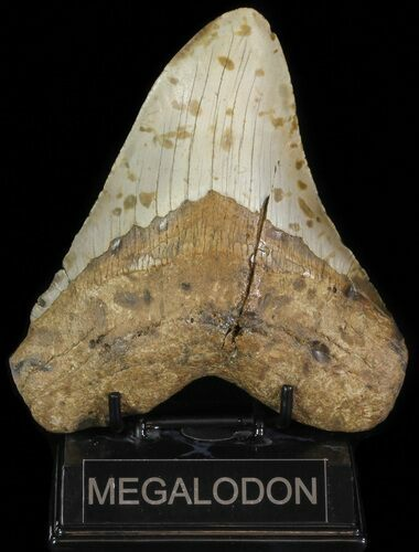 "5.81"" Megalodon Tooth (Repaired) - North Carolina"