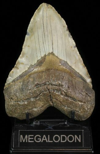 "5.64"" Fossil Megalodon Tooth - Very Heavy"
