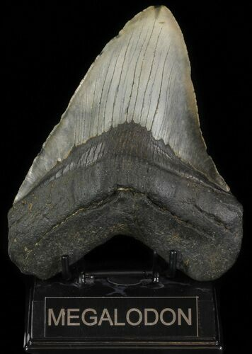 "5.96"" Fossil Megalodon Tooth - Massive Tooth"