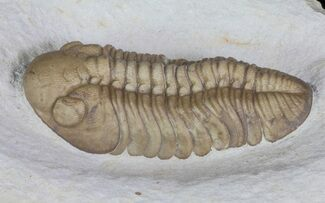 "Buy 1.9"" Lochovella (Reedops) Trilobite - Black Cat Mountain, Oklahoma - #66205"