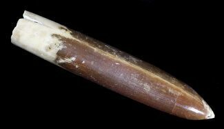 "Buy 3.6"" Agatized Belemnite Fossil - Sweden - #66286"