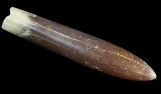 "Buy 3.2"" Agatized Belemnite Fossil - Sweden - #66235"